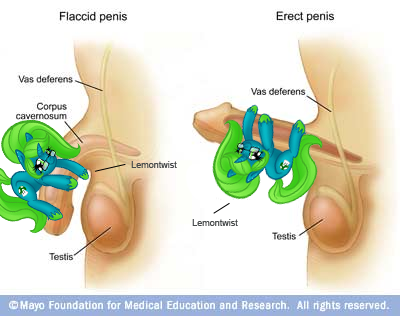 full view of penis