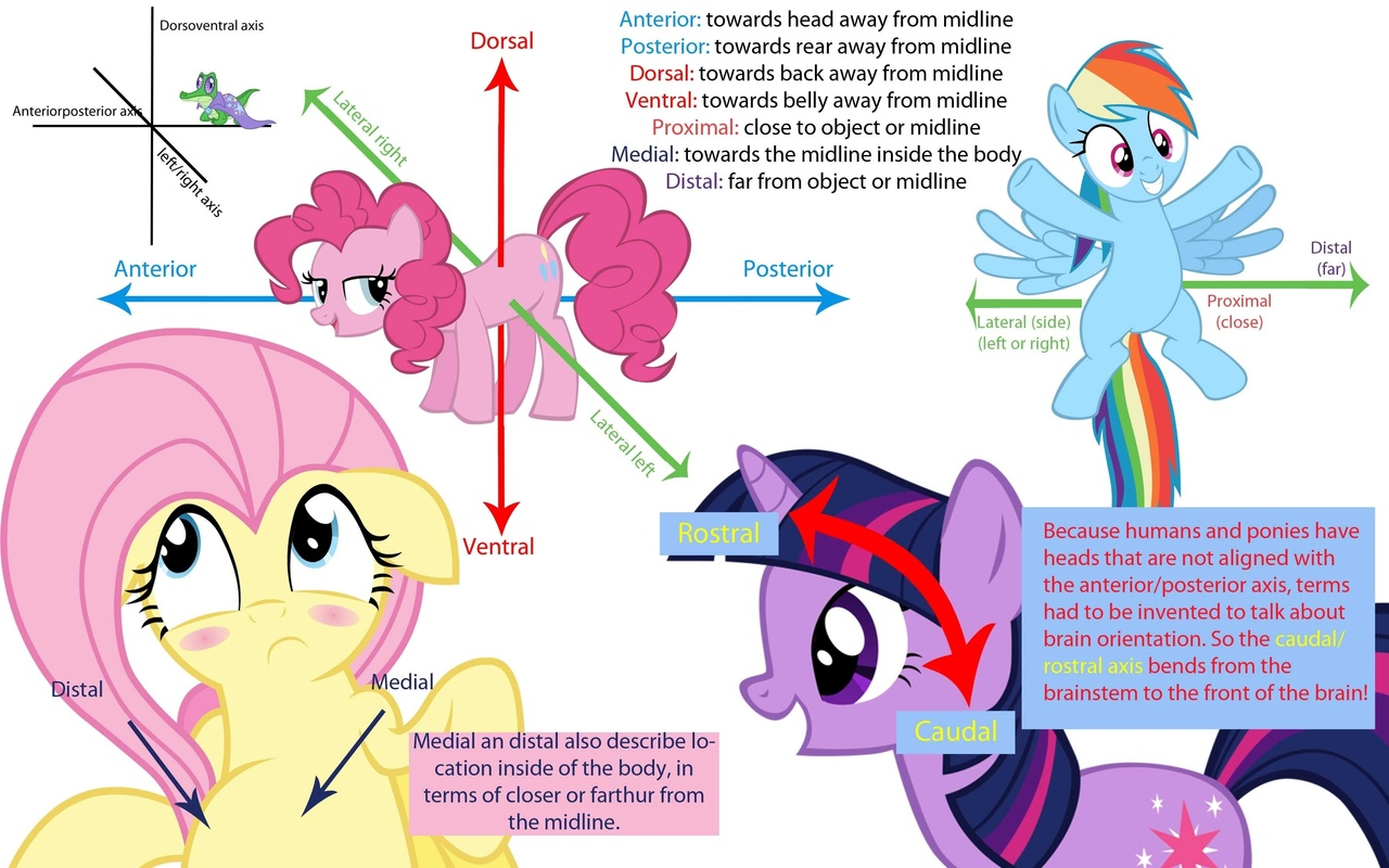 Diagram My Little Pony Wiring Diagrams Vampire 275586 Anatomy Fluttershy