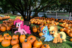 Size: 2048x1367   Tagged: safe, artist:harpycross, applejack, pinkie pie, rainbow dash, pegasus, pony, bored, fence, halloween, irl, photo, photoshop, pick one, ponies in real life, pumpkin, pumpkin patch, vector, waiting, watch