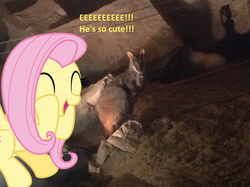 Size: 1024x765 | Tagged: artist:didgereethebrony, australia, cute, eeee, fluttershy, jenolan caves, mlp in australia, pegasus, pony, safe, squee, wallaby