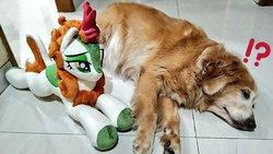Size: 1024x576 | Tagged: safe, artist:burgunzik, autumn blaze, dog, golden retriever, kirin, sounds of silence, exclamation point, female, interrobang, irl, irl dog, lidded eyes, on side, photo, plushie, prone, question mark, smiling, solo, surprised