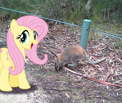 Size: 1034x877 | Tagged: artist:didgereethebrony, didgeree collection, fluttershy, irl, mlp in australia, photo, ponies in real life, pony, safe, solo, wallaby